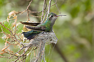 Broad-billed Hummingbird (Cynanthus latirostris) female, builing a nest using spider web, with the nest half constructed. Sonoran Desert, AZ