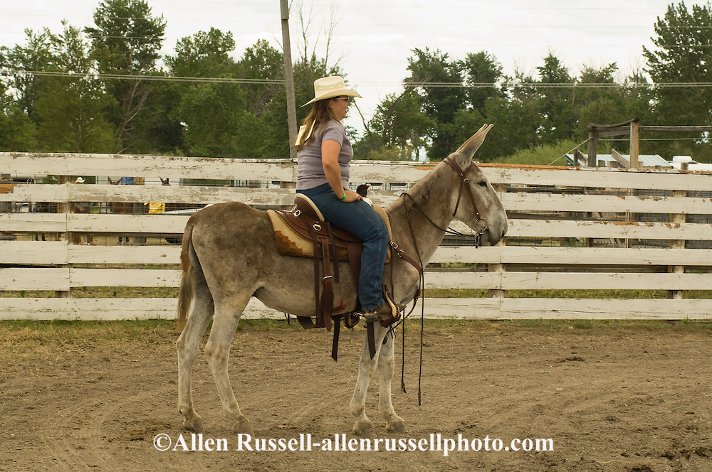 Cowgirl at Montana Mule Days in Drummond Montana on donkey (Equus asinus), ass<br /> MODEL RELEASED