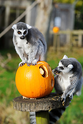 © Licensed to London News Pictures. 29/10/2013 Dunstable, UK. Ring tailed lemurs with a Halloween pumpkin at Whipsnade Zoo, Dunstable. The animals are given the spooky treats as part of their dietary enrichment programme.<br /> Photo credit : Simon Jacobs/LNP