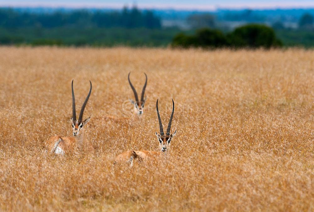 Grant's gazelles (Nanger granti) in the long grass in Sweetwaters, Kenya.