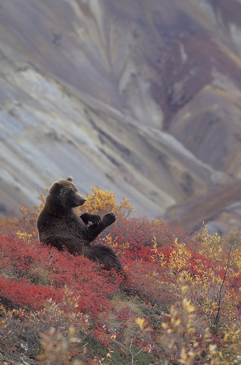 Grizzly bear sitting in blueberry patch in Denali.
