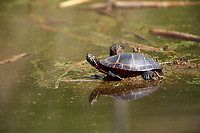 Painted turtle (Chrysemys picta) along edge of wetland, French Basin trail, Annapolis Royal, Nova Scotia, Canada,