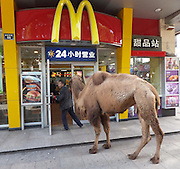 SHAOXING, CHINA - NOVEMBER 25:  china out - Finland Out<br /> <br /> Men Beg With Camels<br /> <br /> A man begs for money with a camel at a shop on November 25, 2013 in Shaoxing, Zhejiang Province of China. Several beggars with two camels appeared in the street in Shaoxing city at noon. They begged shopkeepers one by one on their knees, and didn't stand up until they got money. Shopkeepers were worried about losing business, and they often give beggars some changes. <br /> ©Exclusivepix