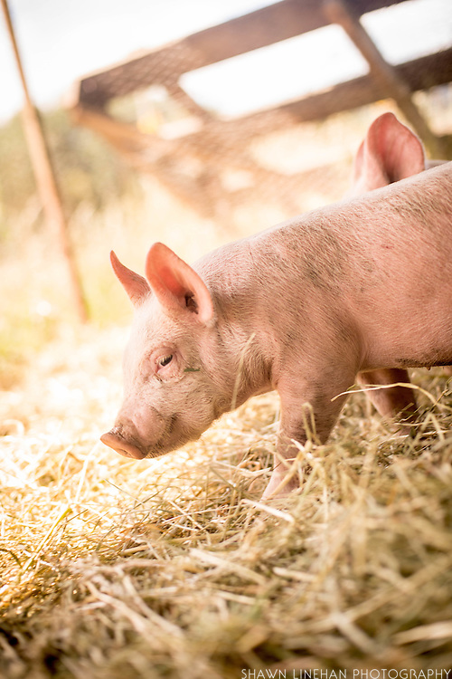 Megan Denton raises Yorkshire and Berkshire cross pigs on her small farm on Sauvie Island in Portland, Oregon.