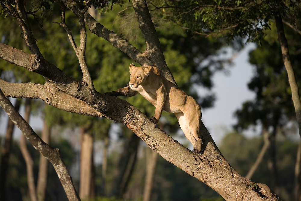 Africa, Kenya, Masai Mara Game Reserve, Lioness  (Panthera leo) climbing on top branches of tree in morning light