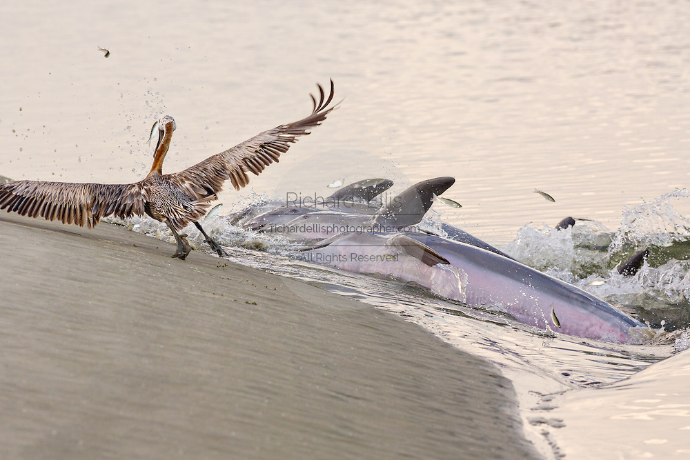A brown pelican moves out of the way as Atlantic bottlenose dolphins come ashore to feed on fish they corralled onto the beach during stand feeding at Captain Sam's Inlet September 3, 2014 in Kiawah Island, SC. This unusual practice involves a group of dolphins herding a school of fish onto the beach and then launching their bodies out of the water and onto the shore to feed and is only found in a few places on earth.