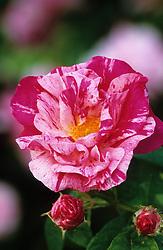 Rosa gallica var. officinalis 'Versicolor' - Rosa mundi rose, Apothecary's rose