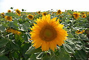 Blooming sunflower plant in a field.