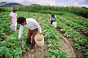IXMIQUILPAN, HIDALGO, MEXICO: Farming family harvests squash near the town of Ixmiquilpan, state of  Hidalgo, central Mexico. PHOTO © JACK KURTZ   AGRICULTURE  FAMILY  LABOUR  CHILD LABOUR  FOOD