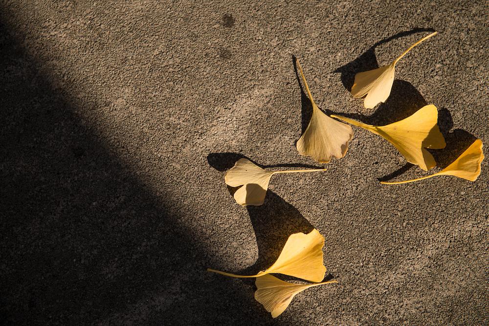 Gingko biloba leaves are scattered across sidewalks as trees lose their leaves on November 12, 2016.