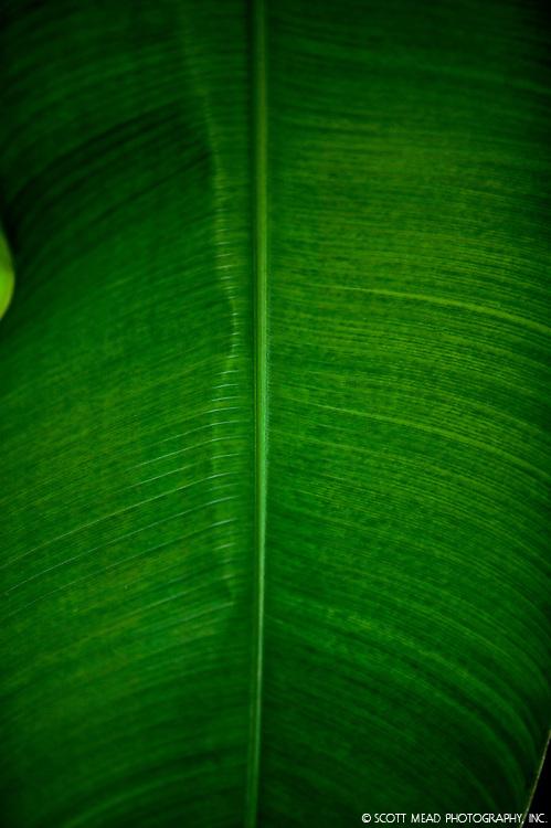 Green banana plant leaf, tropical rain forest, Kauai, Hawaii