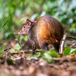 """Cutia (Dasyprocta leporina) fotografado em Linhares, Espírito Santo -  Sudeste do Brasil. Bioma Mata Atlântica. Registro feito em 2015.<br /> <br /> <br /> <br /> ENGLISH: Common Agouti photographed in Linhares, Espírito Santo - Southeast of Brazil. Atlantic Forest Biome. Picture made in 2015."""