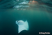 reef manta ray, Manta alfredi (formerly Manta birostris ), barrel-roll feeding on plankton in deep water at sunset off Dharavandhoo Island, Baa Atoll, Maldives ( Indian Ocean )