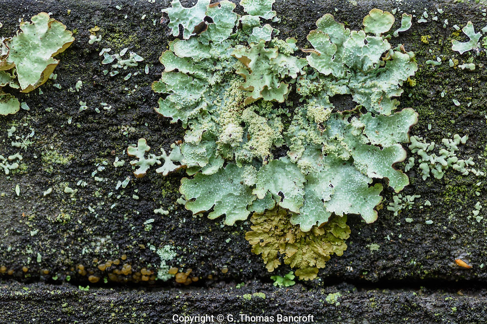 Shield Lichen - grey-green top and blackish below, appressed small lobes.
