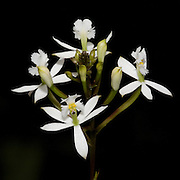 Epidendrum secundum, an orchid near the Interoceanic highway in Peru