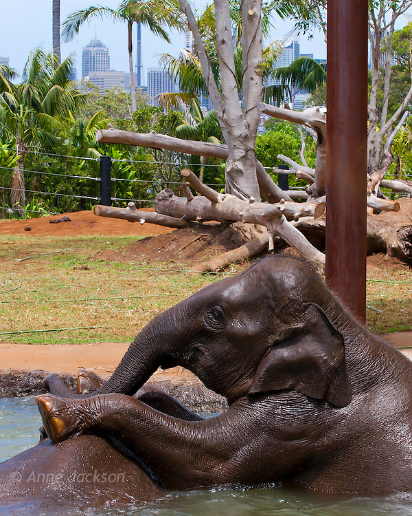 Baby elephants at Taronga Zoo