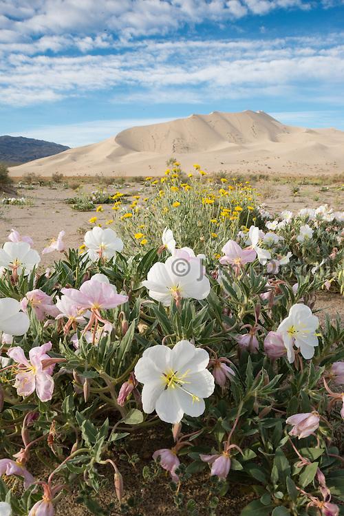 Primrose blossoming at Eureka Dunes, Death Valley National Park