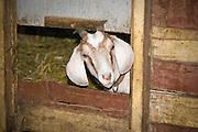 A grass fed goat peeks it head through a wooden fence on a small backyard farm in Portland, Ore.