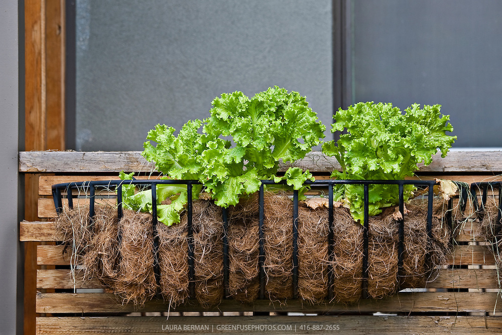 Bright green leaf lettuce growing in a window box planter.