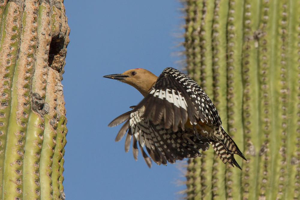 Gila woodpecker (Melanerpes uropygialis), Sabino Canyon, Tuscon, Arizona