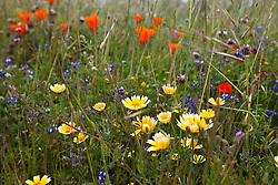 Colorful wild flowers, Russian Ridge Open Space hiking trails, Palo Alto, California, United States of America.