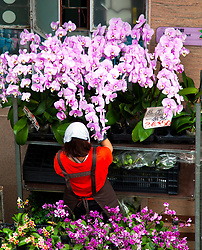 Worker sets up an orchid display in Hong Kong's flower market.