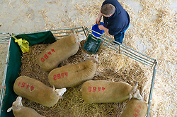 © Licensed to London News Pictures. 16/09/2018. Llanelwedd, Powys, Wales, UK. Charolais rams arrive for the show and sale. Inspection and show events take place on the day before the NSA (National Sheep Association) Wales & Border Ram Sale - reportedly the biggest in Europe - at the Royal Welsh Showground in Powys, Wales, UK. There are two NSA Wales & Border Ram Sales held each year: An early one in August and the main one in September. More than 5,000 rams from about 30 breeds will be on sale. Photo credit: Graham M. Lawrence/LNP
