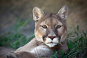 A close up shot of a mountain lion (Puma concolor) laying down in the grass.
