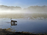 © Licensed to London News Pictures. 15/10/2011. Richmond, UK. A dog plays in a misty lake. Early morning in Richmond Park, Surrey today 15 October 2011. Temperatures are set to fall across the UK in the coming week as Autumn takes hold. Photo: Stephen Simpson/LNP