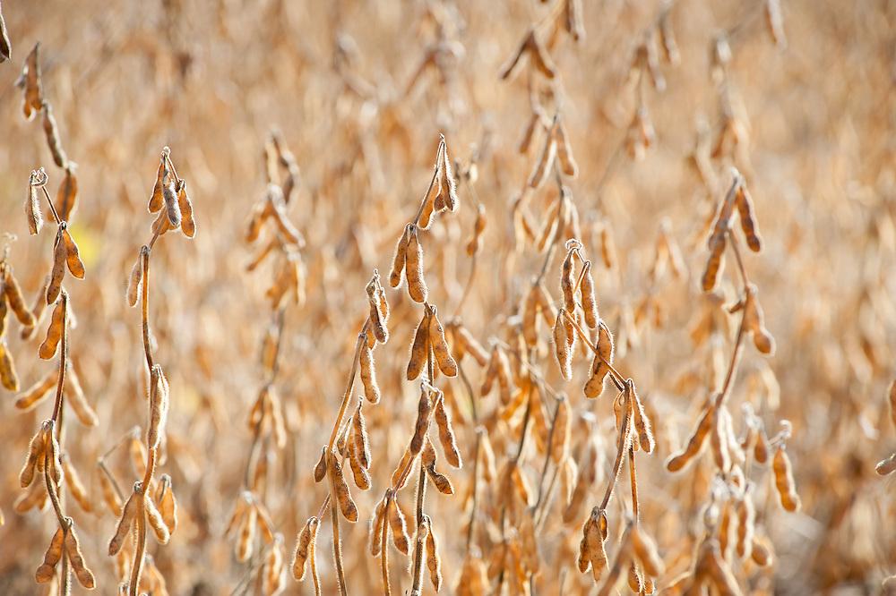 Soybean plants in a field in Union Bridge, Maryland, USA