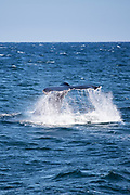 Humpback whale, Megaptera novaeangliae, in the North West Atlantic Ocean, Massachusetts, USA