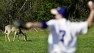A deer feeds in the background as Warwick pitcher Ian Holmes warms up during a game at Washingtonville on Monday, April 19, 2010.