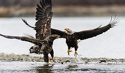 A mature bald eagle (Haliaeetus leucocephalus) defends the salmon carcass that it is feeding on from an attacking juvenile bald eagle along the Chilkat River in the Alaska Chilkat Bald Eagle Preserve near Haines, Alaska. During late fall, bald eagles congregate along the Chilkat River to feed on salmon. This gathering of bald eagles in the Alaska Chilkat Bald Eagle Preserve is believed to be one of the largest gatherings of bald eagles in the world.