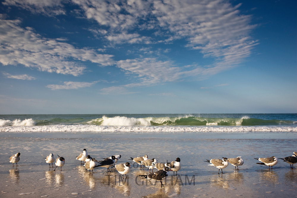 Laughing Gulls shoreline and beach at Anna Maria Island, Florida, USA