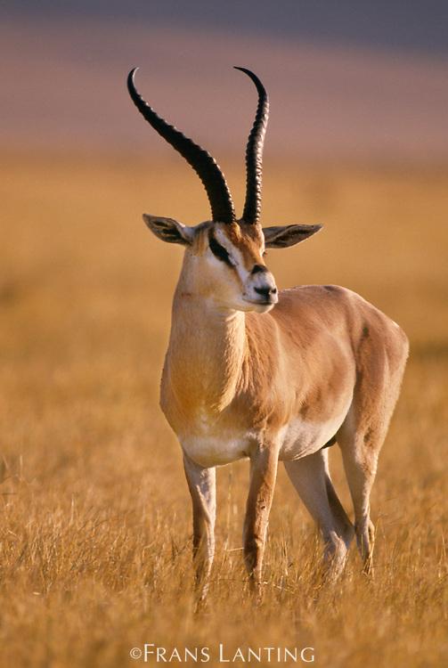 Grant's gazelle, Gazella granti, Serengeti National Park, Tanzania