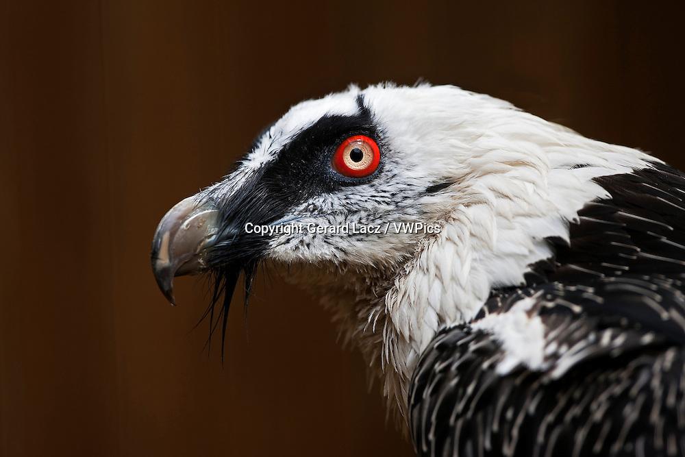 Bearded Vulture, gypaetus barbatus, Portrait of Adult