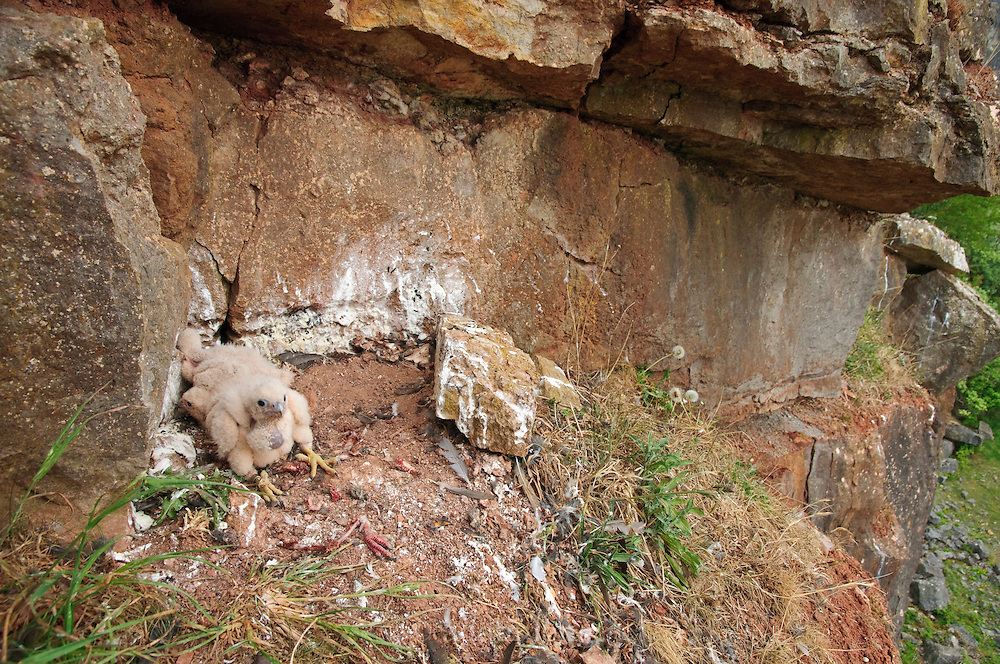Three Peregrine chicks sit in the eyrie surrounded by remains of prey. Photograph taken whilst ringing