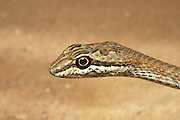 Schokari Sand Racer, Psammophis schokari is a species of snake found in parts of Asia and Africa