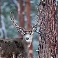 trophy muledeer buck snowing winter, grass pine habitat