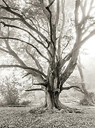 A Queen Beech Tree photographed in Frithsden Beeches in the Ashridge Forest.