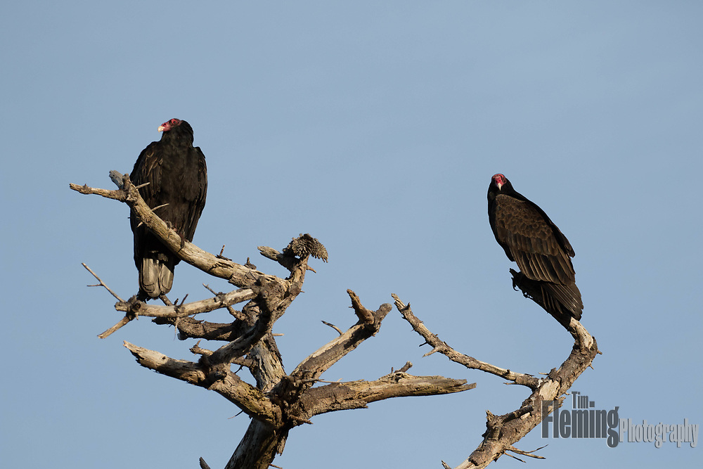Two turkey vultures  perched in a tree in Big Sur, California