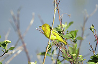 Yellow Warbler (Dendroica petechia), Carsland Provincial Park, Alberta, Canada   Photo: Peter Llewellyn
