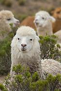 South America,Peru, Altiplano,  Lama glama, Llama
