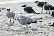 Preening Royal Tern, Sterna maxima, with Laughing Gulls on the shoreline at Anna Maria Island, Florida, USA