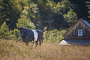 Belted Galloway cow in New Hampshire.