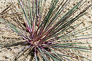 closeup view/macro of grass growing in sand, Nida, Lithuania