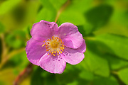 Wild rose (Rosa sp) at Bunny Lake<br />