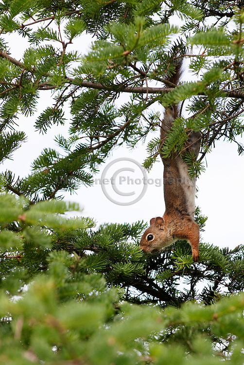 Red squirrels can be easily identified from other North American tree squirrels by their smaller size, territorial behavior and reddish fur with a white under-belly.