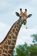 Giraffe (Giraffa camelopardalis) chewing on bone<br /> Marataba, A section of the Marakele National Park<br /> Limpopo Province<br /> SOUTH AFRICA<br /> RANGE: Savanna regions in scattered isolated pockets of Sub-Saharan Africa.