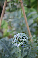 Broccoli growing in a home garden vegetable plot in Ireland